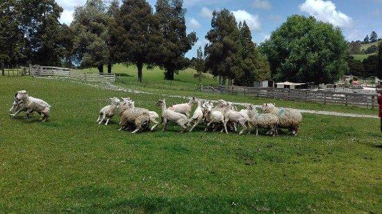 Warkworth, Nowa Zelandia: Working sheep dog show