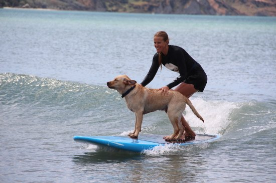 Gisborne, Nieuw-Zeeland: Surf Coach Liz teaching her Dog Benny to Surf! If I can teach my dog, I can teach you!