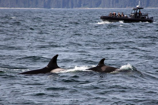 Resident L pod orcas, Ocean EcoVentures Whale Watching, 1721 Cowichan Bay Road, Cowichan Bay, BC