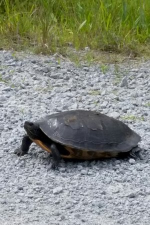 Manteo, NC: Turtle in the road