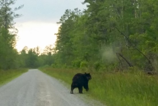 Manteo, Carolina del Nord: Black bear on the side of the road