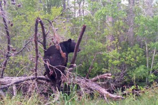 Manteo, Carolina del Nord: Black bear on a log