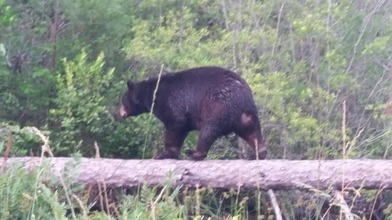 Manteo, Carolina del Nord: Black bear beside the river on a log