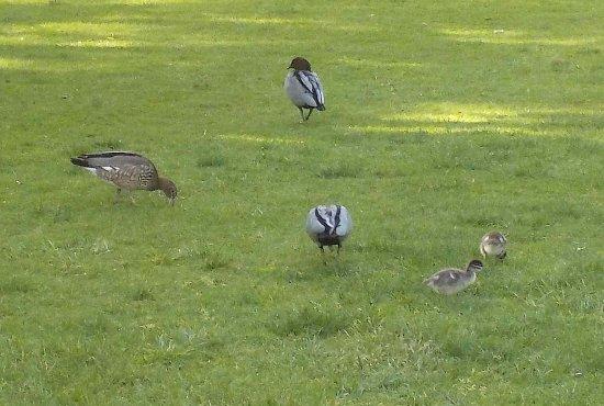 Coburg, Australie : Wood Duck family