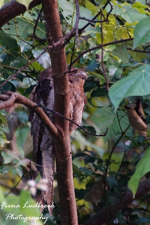 Fine Feather Tours: Papuan Frogmouth