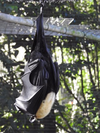 Atherton, Australia: Snoozing Adult Spectacled Fruit Bat
