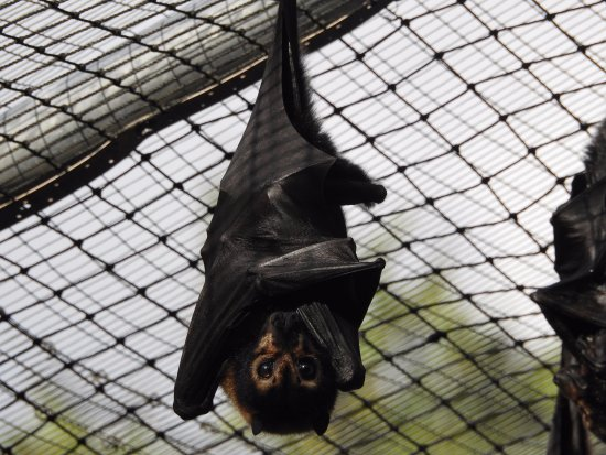 Atherton, Australia: Spectacled Fruit Bat