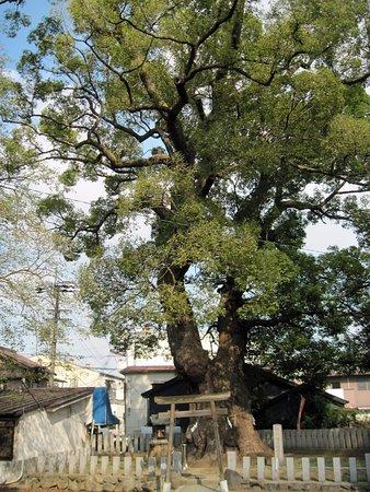 樹齢1200年の大楠