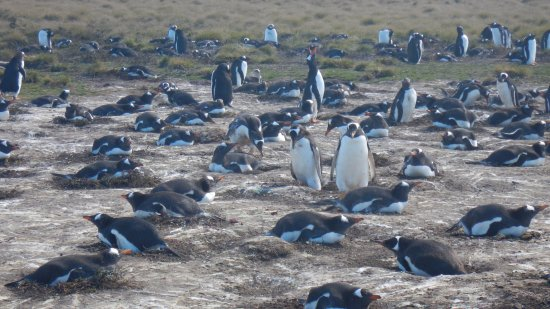 Stanley, Falkland Islands: Gentoos at Bertha's Beach