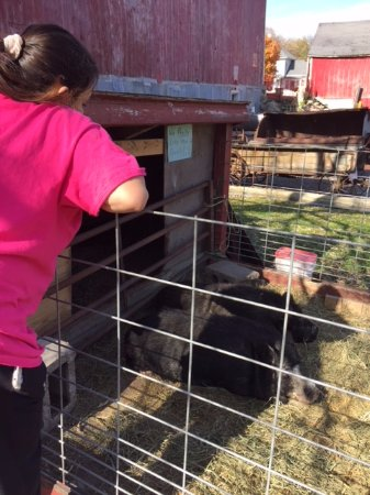 Litchfield, Миннесота: pigs