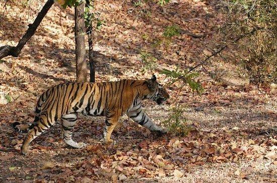 05日の野生動物ツアー - Bandhavgarh