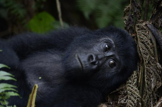 3 day Gorilla Tracking Tour to Bwindi...