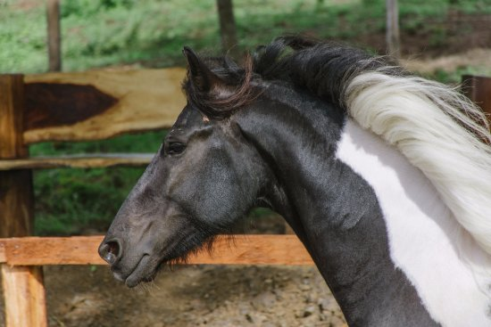 Playas del Coco, Costa Rica: This is our stallion, Bolero.