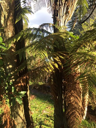 Hamurana, New Zealand: Tree ferns.
