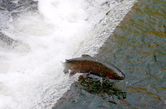 "Trout Run is a PFBC designated ""Nursery Water"" for Steelhead Trout"