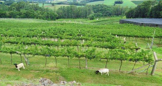 Crissiumal, RS: Ovelhas Dorper responsáveis pela limpeza do vinhedo de Cabernet Sauvignon