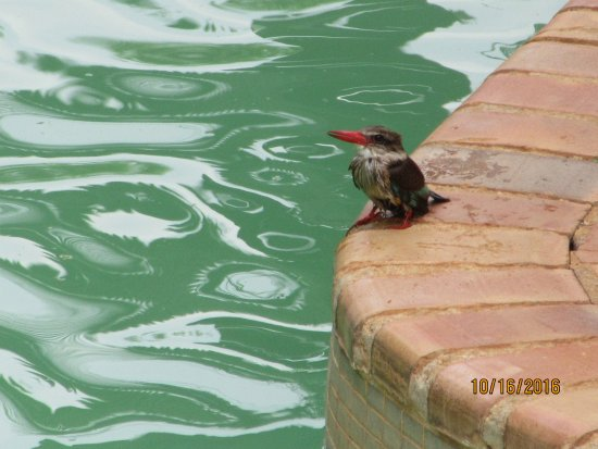 Kiepersol, Sydafrika: Sunday ritual at the pool for this giant Kingfisher, cleaning day