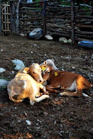 Todos Santos, Mexico: Pequeñas crías de ganado en el corral.