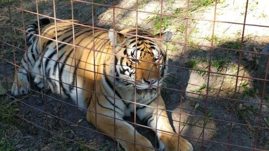 Big Cat Rescue : One of the beautiful cats at Cat Rescue in Tampa