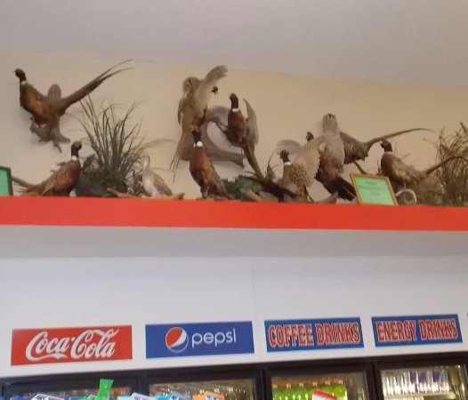 Bowman, ND: mounted pheasants above the drink coolers