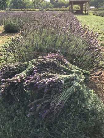 Purple Adobe Lavender Farm: Beautiful lavender from the lavender farm.