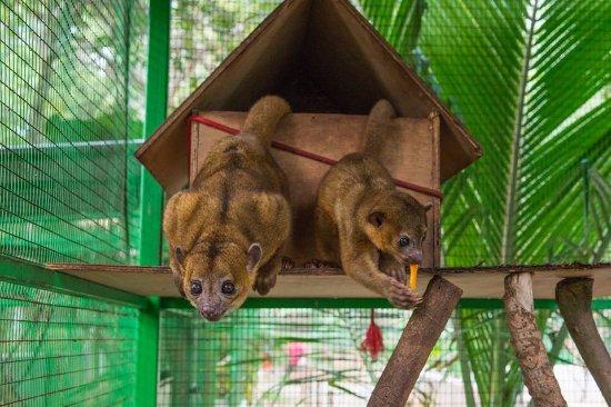 Dominical, Costa Rica: The adorable Kinkajous.