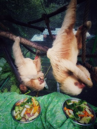 Dominical, Costa Rica: Our two toed sloths do almost everything upside down.