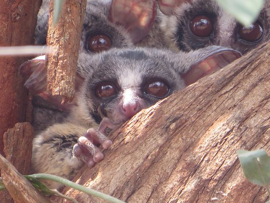 Crocodile Bridge Rest Camp: Bushbabies that live in the grounds