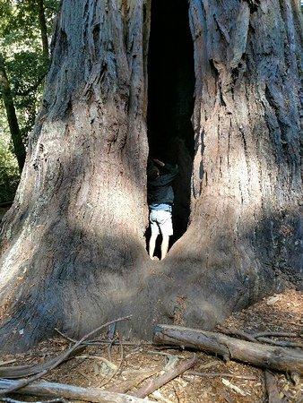 Boulder Creek, แคลิฟอร์เนีย: Huge tree that you can walk into.