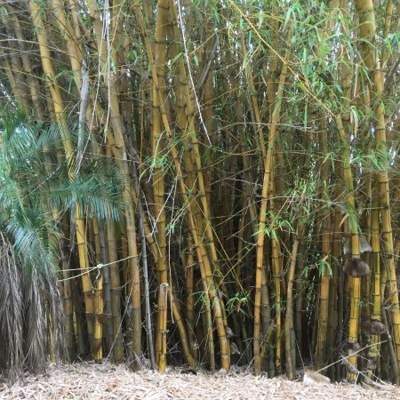 Cooroy, Australien: large bamboo plants adding to the ambience