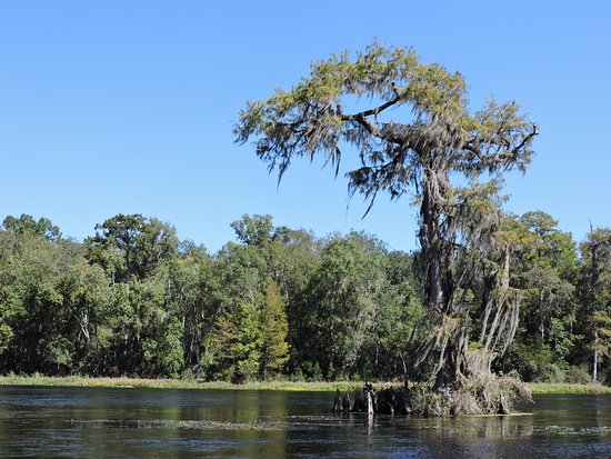 Wakulla Springs Lodge: Cypress Near the Spring