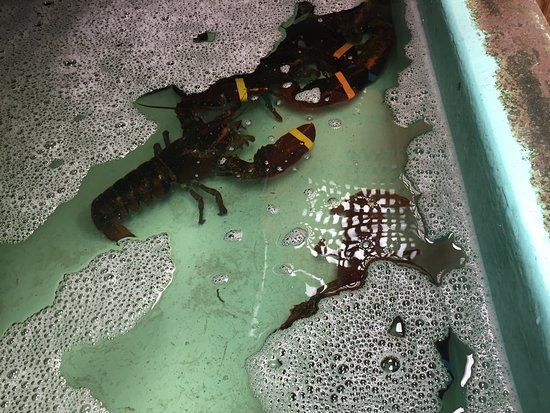 Bridgton, ME: Live lobsters
