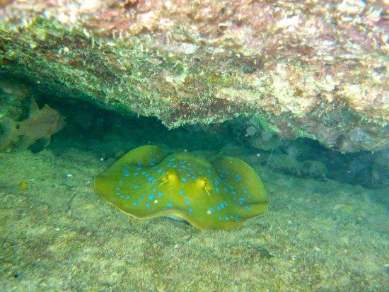 Νησί Toberua, Φίτζι: a ray whilst snorkelling