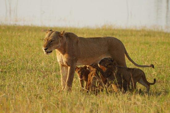 Lake Kariba, Zimbabue: Lions in abundance