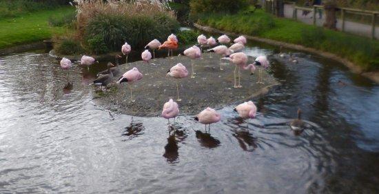 Slimbridge, UK: I am the Ginger Flamingo in the middle