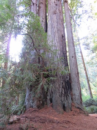 Orick, Californien: Huge and I mean enormous Redwood trees