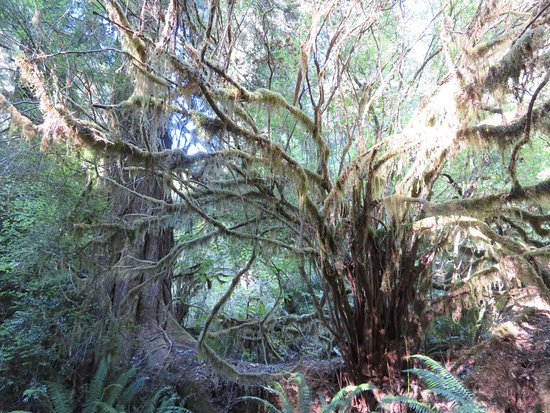 Prairie Creek Redwoods State Park: An Octopus Tree