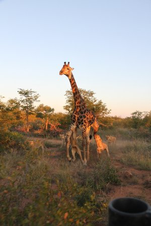 Motswari Private Game Reserve: Giraffe being chased by lions