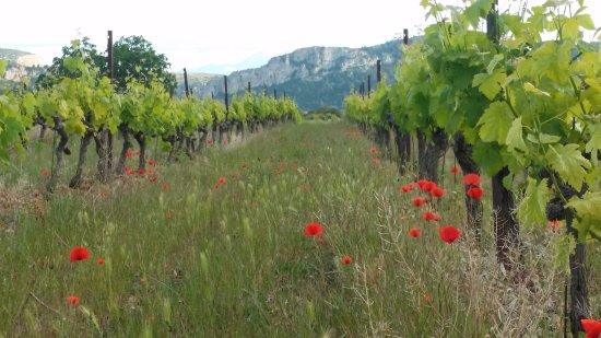 Tautavel, ฝรั่งเศส: Coquelicots sauvages dans les vignes