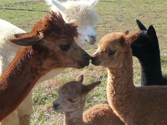 Graystone Ridge Alpacas