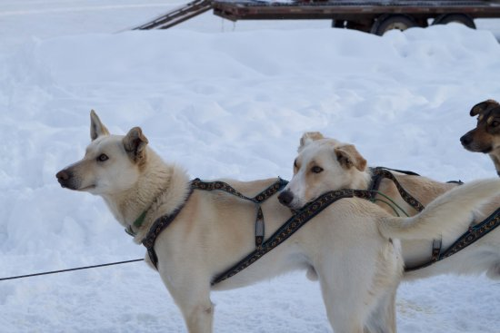 Kingmik Dog Sled Tours: The team getting ready for the start