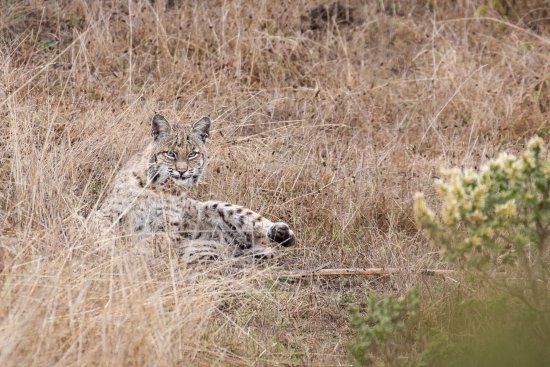 Point Reyes Station, CA: A bobcat we encountered