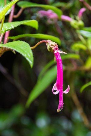 Poas Volcano National Park, Kosta Rika: Beautiful Rainforest Flower