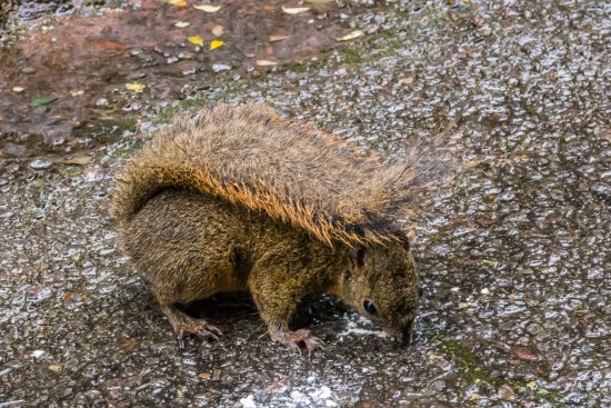 Poas Volcano National Park, Kosta Rika: Many Squirrels