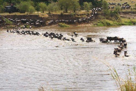 Wayo Africa: Rivercrossing wildebeest in the Serengeti