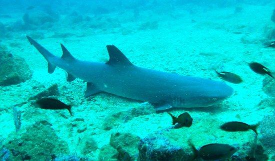 La Gorgona, Colombia: Buceo con tiburones