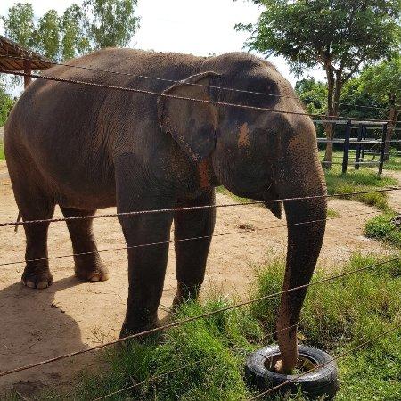 Tha Yang, Thailand: Les ponen la comida dentro de las llantas para entretenerlos y darles un poco de trabajo