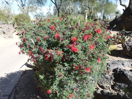 Ethel M Chocolates Factory and Cactus Garden: Flowering cactus bush