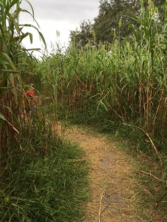 Polk City, FL: The corn maze