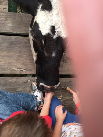 Polk City, FL: Feeding the cows.